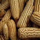 Maize cobs in Zambia
