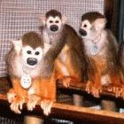 Monkeys used in research on a malaria vaccine
