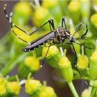 Aedes Aegypti mosquito