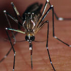 Aedes aegypti mosquito by Flickr/Marco Gaiani