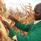 Researcher harvests maize