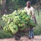 Africa bananas