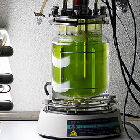 Algae grown in a laboratory