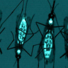 Glow in the dark mosquitoes