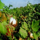 Bt cotton in Sindh, Pakistan