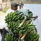 Banana farmer in Burundi