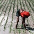 Planting rice in Bangladesh