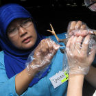Bird flu surveillance, Indonesia