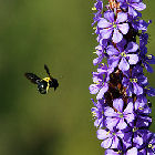 Bee flying towards a flower in South Africa