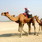 A camel in the Middle East