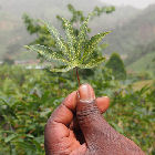 A cassava leaf