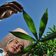 Cassava researcher in Laos