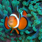 Clownfish in its natural environment