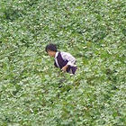 Picking cotton in northern China