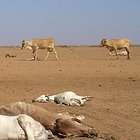 Cattle killed by drought