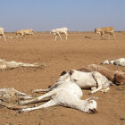 Dead cattle during drought, Horn of Africa