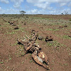 Cattle deaths caused by drought