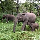 Elephants in Mudumulai wildlife sanctuary in Nilgiri biosphere/biodiversity reserve in southern India