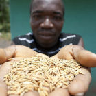 Farmer holds rice seeds, Ghana