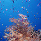 Coral and fish, Fiji