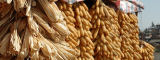 Hanging maize, Yunnan Province, China by Flickr/CIMMYT