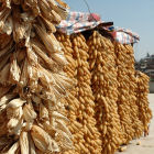 Hanging maize, Yunnan Province, China