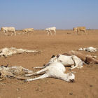 Dead cows