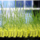 GM rice plants