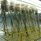 GM rice samples in test tubes