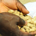 Hand holding groundnuts