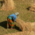 Woman harvesting rice, Nepal