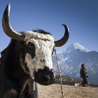 Cattle and people in Himalayas