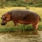 Hippo in Rwenzori National Park, Uganda