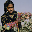 Indian woman harvests cotton