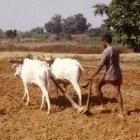 Indian farmer ploughing field before seeds sowing seeds