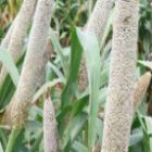 Iron-rich pearl millet in India
