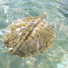 Kemp's Ridley turtle, swimming in clear water