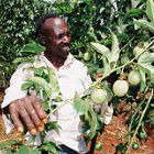 Passion fruit growing in Kenya