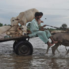 Man transporting livestock in flood in Pakistan