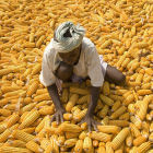 A maize farmer in Africa