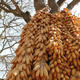 Maize ears hanging from a tree in Yunnan Province, China