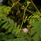 Mimosa pigra