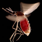 A flying mosquito