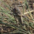 Oedaleus asiaticus juvenile locust