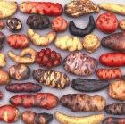 Peruvian native potatoes