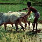 A rainfed field in Bangladesh