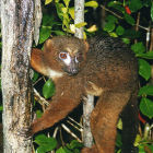 Red-bellied lemur in Ranamofana National Park, Madagascar