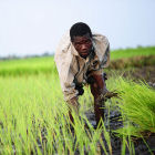 Rice farmer in Africa