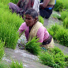 A rice farmer