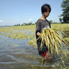 Man walking through a flooded ricefield